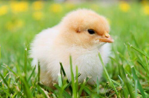wegański kurczak